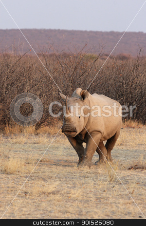 Square-lipped Rhinoceros (Ceratotherium simum) stock photo, Square-lipped Rhinoceros (Ceratotherium simum) or White Rhino in the Etosha National Park, Namibia by DirkR