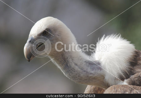 Griffon Vulture stock photo, Close up of a Griffon Vulture (Gyps fulvus) by DirkR