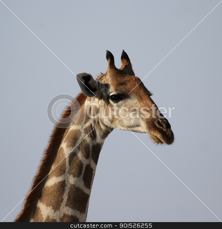 Giraffe stock photo, Portrait of a Giraffe (Giraffa camelopardis) by DirkR