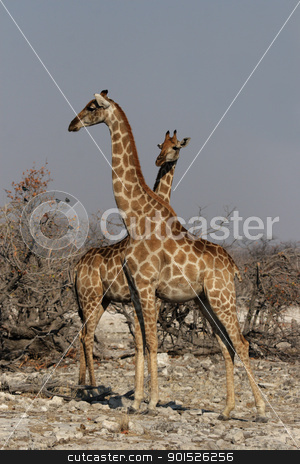 Two Giraffes (Giraffa camelopardis) stock photo, Two Giraffes in the Etosha National Park, Namibia by DirkR
