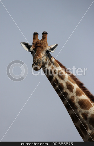 Giraffe (Giraffa camelopardis) stock photo, Portrait of a Giraffe in Namibia by DirkR