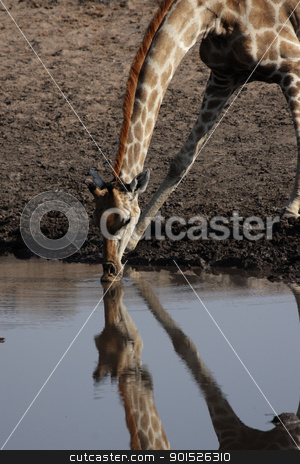 Giraffe (Giraffa camelopardalis) stock photo, Drinking Giraffe at the waterhole in the Etosha National Park, Namibia by DirkR