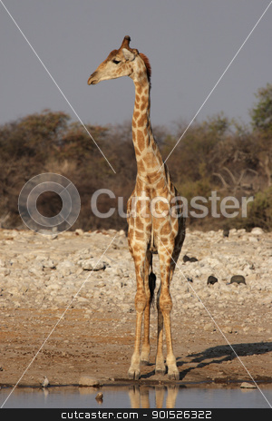 Giraffe (Giraffa camelopardis) stock photo, Giraffe at the waterhole in the Etosha National Park, Namibia by DirkR