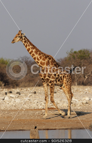 Giraffe (Giraffa camelopardalis) stock photo, Giraffe at the waterhole in the Etosha National Park, Namibia by DirkR