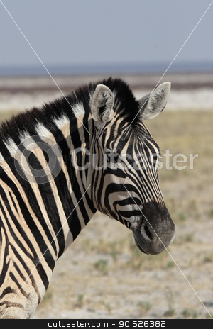 Plains Zebra (Equus quagga) stock photo, Close up of a Plains Zebra (Equus quagga) in the Etosha National Park, Namibia by DirkR