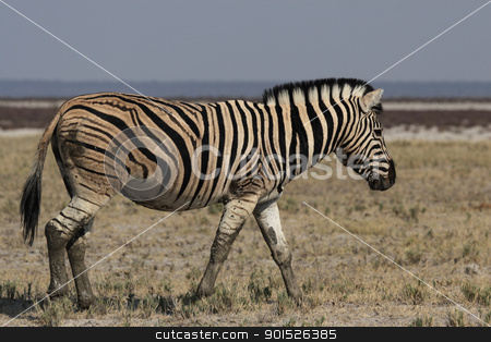 Plains Zebra (Equus quagga) stock photo, Plains Zebra (Equus quagga) in the Etosha National Park, Namibia by DirkR