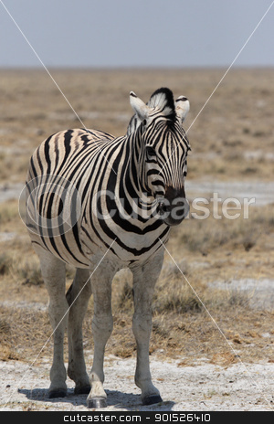 Plains Zebra (Equus quagga) stock photo, Plains Zebra in the Etosha National Park, Namibia by DirkR