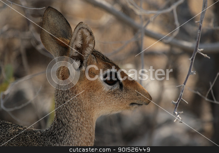 Damara Dik-Dik (Madoqua damarensis) stock photo, Damara Dik-Dik (Madoqua damarensis) in the Etosha National Park, Namibia by DirkR