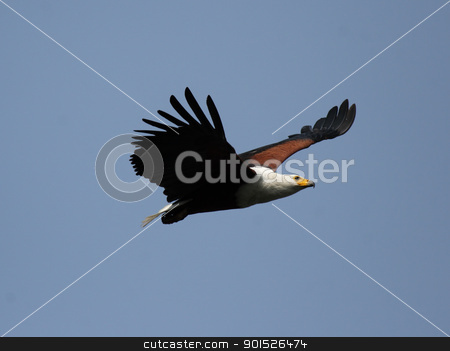 African Fish Eagle stock photo, African Fish Eagle (Haliaeetus vocifer) in the Okavango Delta, Botswana. by DirkR