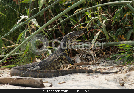 Nile Monitor (Varanus niloticus) stock photo, Nile Monitor (Varanus niloticus) on the river bank of the Okavango, Botswana. by DirkR