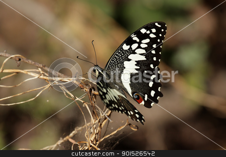 Citrus Swallowtail (Papilio demodocus) stock photo, Citrus Swallowtail (Papilio demodocus) in the Okavango Delta in Botswana. by DirkR