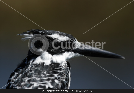 Pied Kingfisher stock photo, Pied Kingfisher (Ceryle rudis) in the Okavango Delta, Botswana. by DirkR
