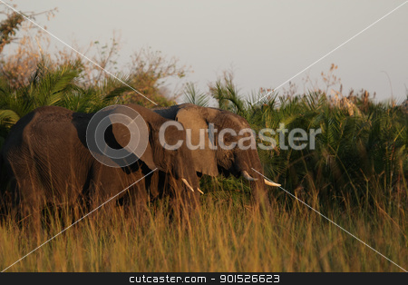 Elephants (Loxodonta africana) stock photo, Elephants (Loxodonta africana) in the Okavango Delta, Botswana. by DirkR
