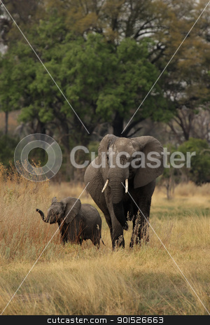 Elephants (Loxodonta africana) stock photo, Elephant mother with cub in the Okavango Delta, Botswana. by DirkR