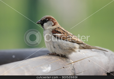 House Sparrow (Passer domesticus) stock photo, Male House Sparrow (Passer domesticus) sitting on a wooden fence. by DirkR