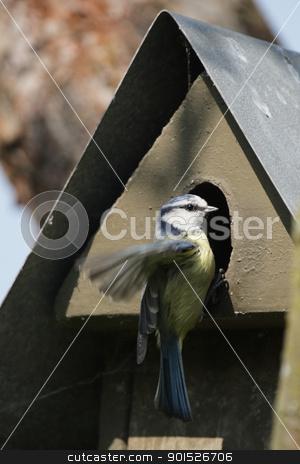 Blue Tit (Parus caeruleus) stock photo, Blue Tit (Parus caeruleus) sitting on a nesting box. by DirkR