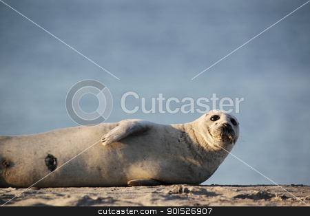 Harbor Seal (Phoca vitulina) stock photo, Harbor Seal (Phoca vitulina) lying on the beach of Heligoland. by DirkR