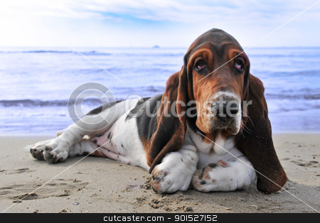 basset hound on a beach stock photo, picture of puppy purebred basset hound on a beach by Bonzami Emmanuelle