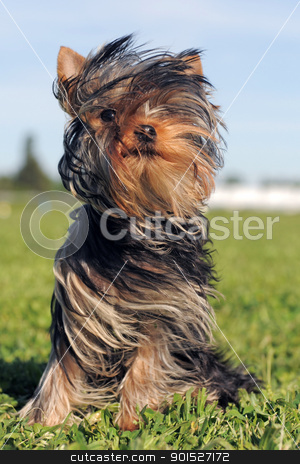 puppy yorkshire terrier stock photo, portrait of a purebred puppy yorkshire terrier in the wind by Bonzami Emmanuelle