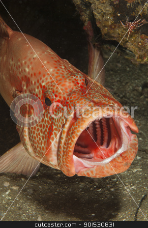 Open mouth rockcod stock photo, A close up on a open mouth tomato rockcod, KwaZulu Natal, South Africa by Fiona Ayerst Underwater Photography