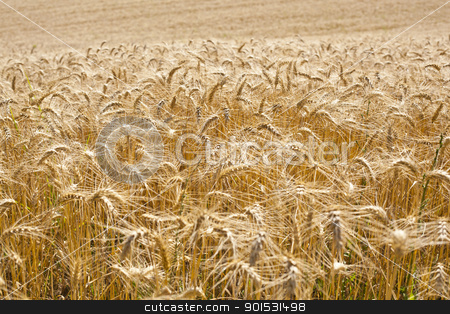 Wheat Field stock photo, Wheat filed in summer by Adam Radosavljevic