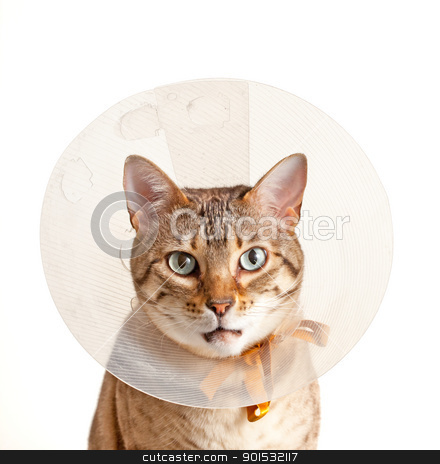 Bengal kitten with neck collar stock photo, Bengal cat looking sad in neck collar to stop it licking a wound by Steven Heap