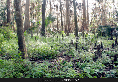 Exposed Tropical Riverbed (1) stock photo, A rare view of a central Florida cypress marsh that's normally under approximately six feet of water.  The waterline is easily visible on the tree trunks.  The nutrient-rich muck fosters lush, green plant growth. by Carl Stewart