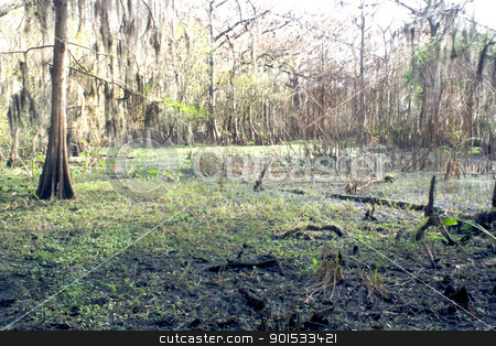 Exposed Tropical Riverbed (3) stock photo, A rare view of a central Florida cypress marsh that's normally under approximately six feet of water.  The waterline is easily visible on the tree trunks.  The nutrient-rich muck fosters lush, green plant growth. by Carl Stewart