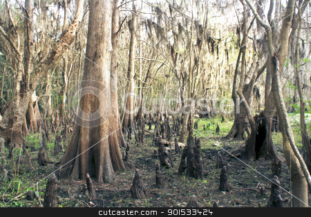 Exposed Tropical Riverbed (5) stock photo, A rare view of a central Florida cypress marsh that's normally under approximately six feet of water.  The waterline is easily visible on the tree trunks.  The nutrient-rich muck fosters lush, green plant growth. by Carl Stewart