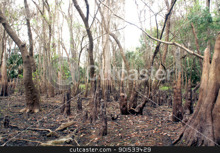 Exposed Tropical Riverbed (6) stock photo, A rare view of a central Florida cypress marsh that's normally under approximately six feet of water.  The waterline is easily visible on the tree trunks.  The nutrient-rich muck fosters lush, green plant growth. by Carl Stewart