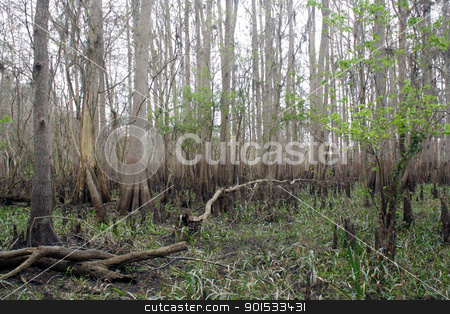 Exposed Tropical Riverbed (8) stock photo, A rare view of a central Florida cypress marsh that's normally under approximately six feet of water.  The waterline is easily visible on the tree trunks.  The nutrient-rich muck fosters lush, green plant growth. by Carl Stewart