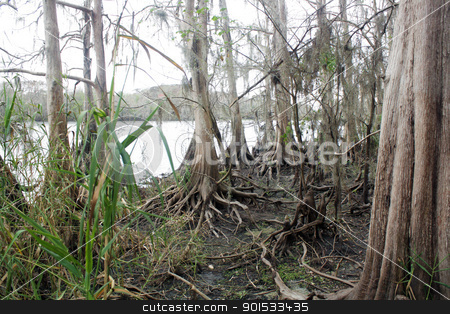 Exposed Tropical Riverbed (10) stock photo, A rare view of a central Florida cypress marsh that's normally under approximately six feet of water.  The waterline is easily visible on the tree trunks.  The nutrient-rich muck fosters lush, green plant growth. by Carl Stewart