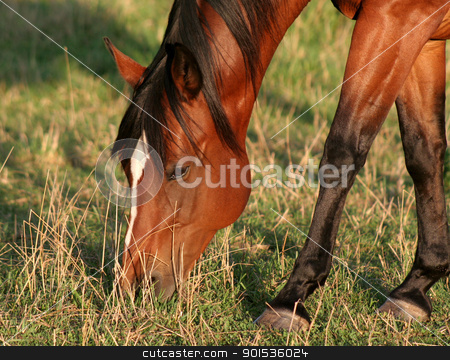 Feeding Horse stock photo, A beautiful redish brown horse feeds in the sunlight. by Chris Hill