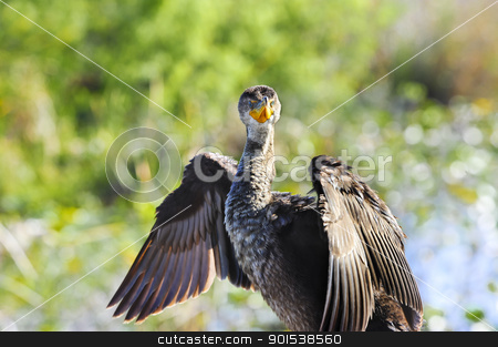Double Crested Cormorant stock photo, A Double Crested Cormorant with wings spread enjoying the sun. by Don Fink