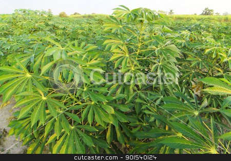 Acres of cassava stock photo, Acres of cassava by Sailom