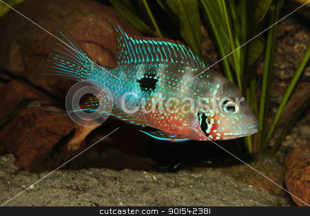 Mexican Fire Mouth (Thorichthys ellioti) stock photo, Mexican Fire Mouth (Thorichthys ellioti) - Male with some juveniles by Torsten Dietrich