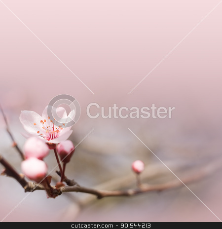 Delicate pink spring flower. stock photo, Spring header or footer with delicate pink flowers and copy space. by exvivo