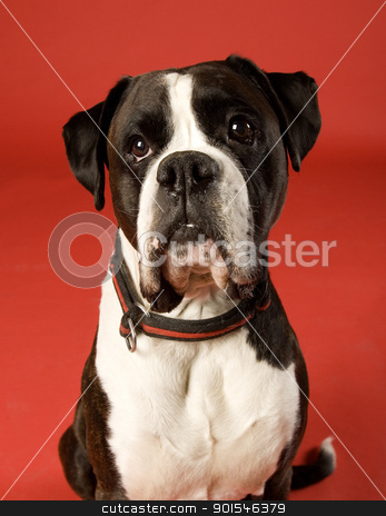 Sad Dog stock photo, Sad Boxer on red background by Anne-Louise Quarfoth