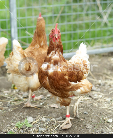 Poultry stock photo, Agriculture Farm with Poultrys by Anne-Louise Quarfoth