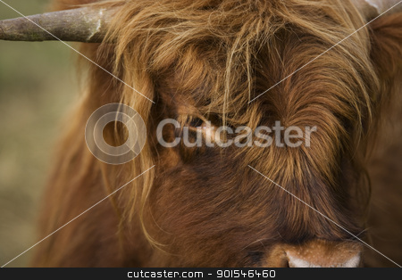 Highland cattle stock photo, Close-up of a Highland cattle cow by Anne-Louise Quarfoth
