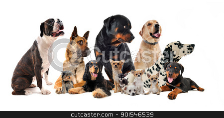 group of dogs stock photo,  purebred  little and large dogs in a white background by Bonzami Emmanuelle