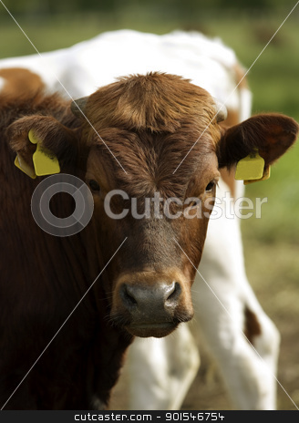 Cows stock photo, Tranquil Scene with Domestic cows by Anne-Louise Quarfoth