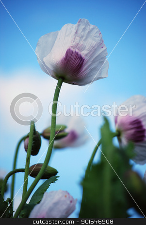 poppy field stock photo,  poppy by Sarka