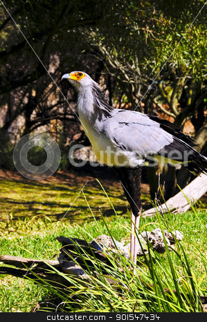 Secretary Bird stock photo, A secretary bird looking up at the sky by Bonnie Fink