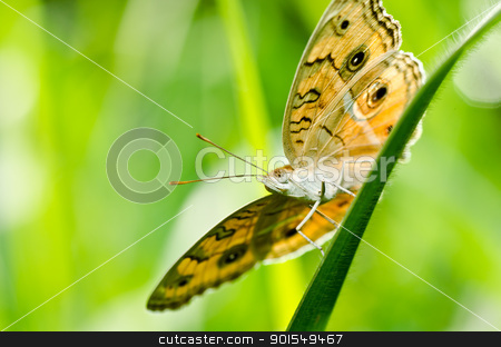 butterfly in green nature stock photo, butterfly in green nature or in the garden by sweetcrisis