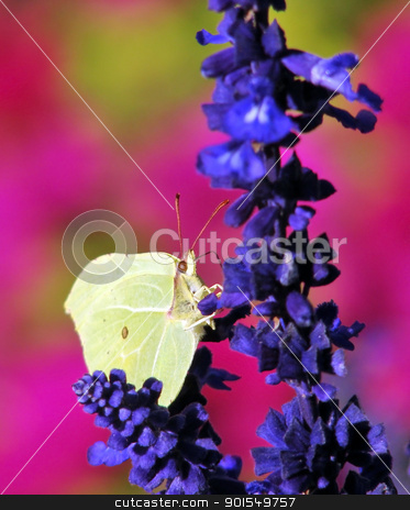 Yellow pieris brassicae butterfly on a blue flower stock photo, Close up of a yellow pieris brassicae butterfly on a blue flower by padebat