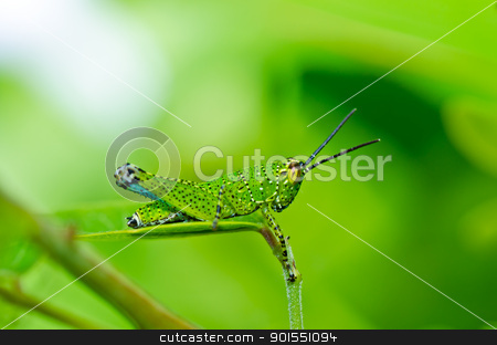 grasshopper in green nature stock photo, grasshopper in green nature or in the garden by sweetcrisis