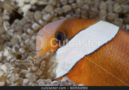 Clownfish profile stock photo, A close up on a clownfish in between anemones, Sulawesi, Indonesia by Fiona Ayerst Underwater Photography