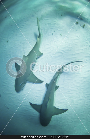 Shark twin stock photo, Two sharks swimming together along the sea bed, Bahamas by Fiona Ayerst Underwater Photography