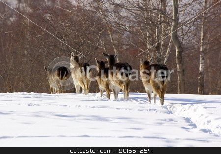 fallow deer herd  stock photo, after they have finished all the corn that I had, the herd go in the woods by coroiu octavian